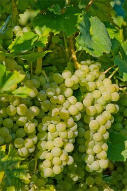 Information über Chardonnay
