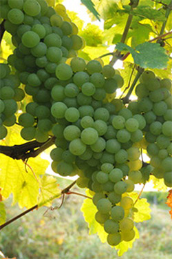 Sauvignon Blanc Rebsorte