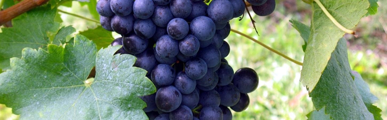 Bordeaux rote Rebsorten