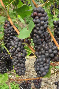 Pinot Noir Rebsorte
