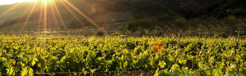 Weinberge in Süditalien